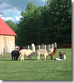 alpacas and children at the farm